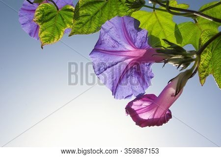 closeup flower of field bindweed natural frame in backlight