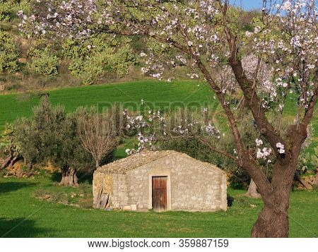 typical rural landscape of Sicily with flowered almond tree and preakly pear