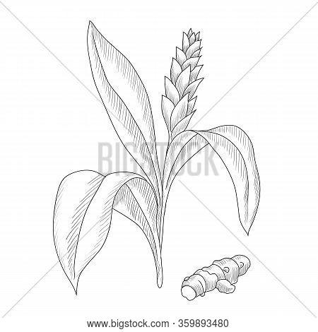 Vector Drawing Turmeric Plant, Curcuma Longa, Hand Drawn Illustration