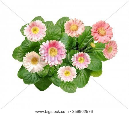 Pink gerbera flowers with leaves, isolated on white background, bird´s eye view