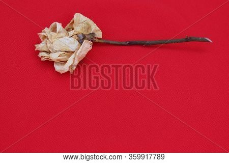 Old Rose Close Up. Withering Rose Isolated On  Red. Beige Dried Rose With Place For Text. Autumn Flo