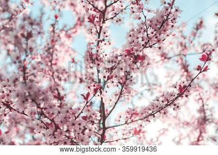 Spring Background In The Form Of Flowering Tree Branches With Pink Flowers Against A Blue Sky. Sprin