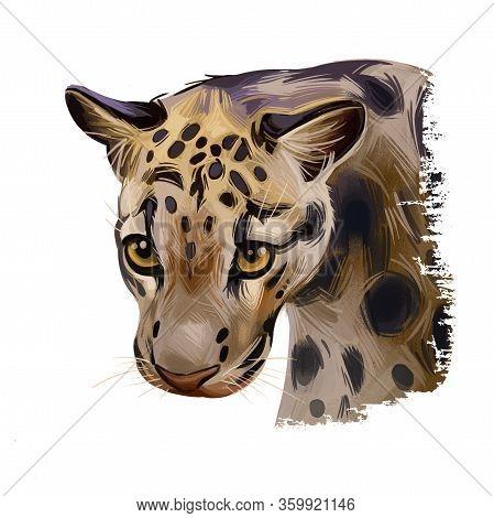 Sunda Clouded Leopard Watercolor Portrait Closeup. Neofelis Diardi Animal From Feline Mammals Family