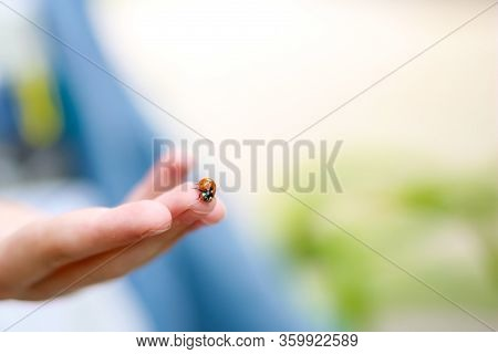 Red Ladybug Sitting On Child Hands. Child Taking Little Ladybug With Care. Caring For Nature Concept