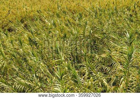 Corn Plantation In The Valley In La Hermigua On La Gomera. April 15, 2019. La Gomera, Santa Cruz De