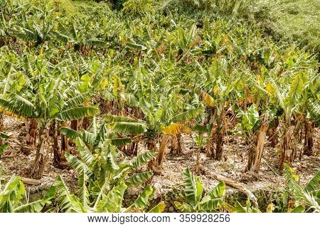 Banana Plantation In The Valley In La Hermigua On La Gomera. April 15, 2019. La Gomera, Santa Cruz D