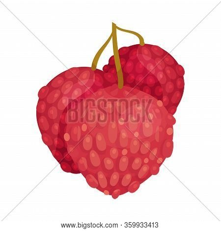 Litchi Fruit With Rough Closed Pink-red Rind And Sweet Flesh Hanging On Tree Branch Vector Illustrat