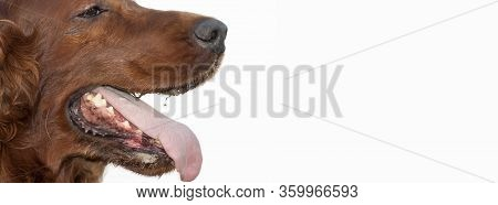 Drooling Salivating Panting Dog Mouth, Web Banner On White Background, Isolated. Copy Space.