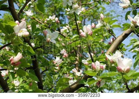 Beginning Of Florescence Of Apple Tree In April