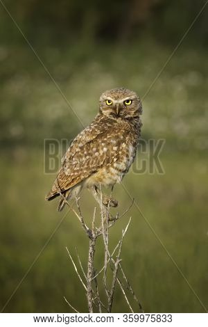 Portrait Of A Burrowing Owl In The Wild Staring With His Yellow Eyes