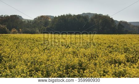 Yellow Field Of Oilseed Rape, Trees And Hills