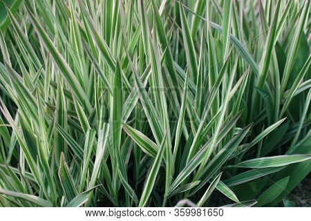 Sedge Decorative. Silver Wheatgrass. Blue Sedge. Striped Green Grass Variegated Sedge \'ice Dance\'