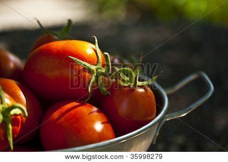 Sunlit Ripe Tomatoes