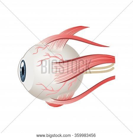 Eyeball Muscles Symbol. Eye Anatomy In Side View. Vector Illustration In Cartoon Style Isolated On W
