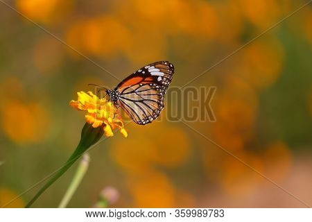 Monarch Butterfly Feeding Juice On Marigold Flowers In Formal Garden, Closeup Of Monarch Insect Back