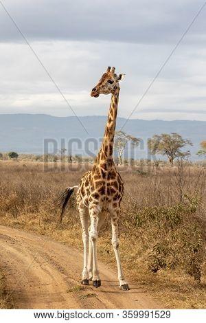 Rothschild's giraffe, Giraffa camelopardalis rothschildi, running along a dirt road in Lake Nakuru National Park, Kenya. This species is endangered and decreasing in the wild.