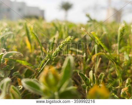 Sprout Of Grass. Spring Regeneration, Green Grass. Regeneration Of Nature. Germinating Wheat Seeds G