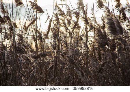Dry Grass Blowing In The Wind, Red Reed Sway In The Wind With Blue Cloudy Sky Background, Reed Field
