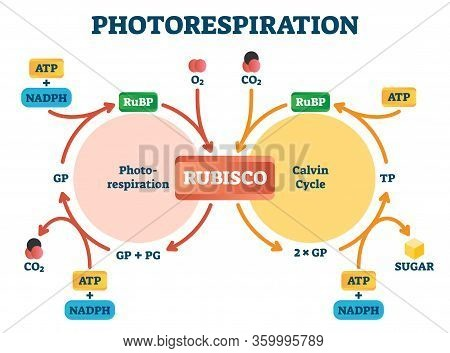 Photorespiration Vector Illustration. Labeled Photosynthesis Education Scheme. Diagram With Oxidativ