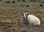 sheep at the southern coast of Iceland poster