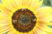 sun flower and bees poster