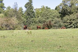 Brown Cows In A Green Grassy Field