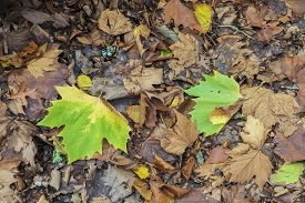 Autumn Leaves On The Ground After Falling From The Tree