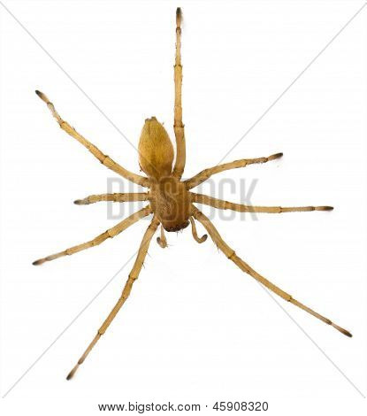 brown spider Russia living (Huntsman spiders) in house isolated