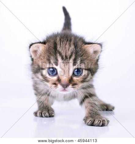 Little 2 Weeks Old Kitten