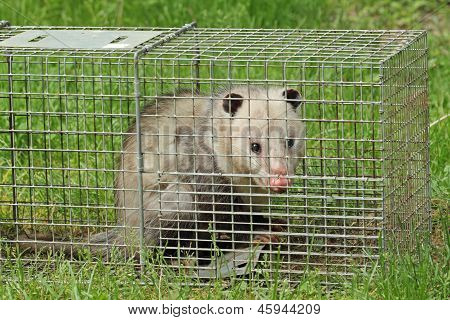 Opossum In A Trap