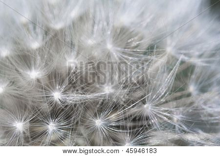 Dandelion background