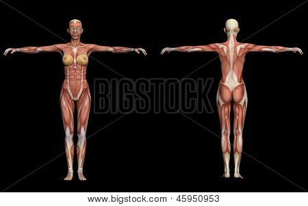Human Anatomy -female Muscles