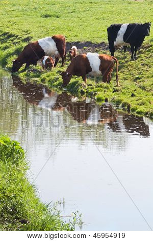 Dutch Belted or Lakenvelder cows - an old and rare breed of Dutch dairy cattle - with calves on field drinking water poster