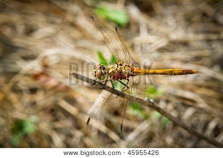 Yellow dragonfly with red velvet mites sitting on a branch poster