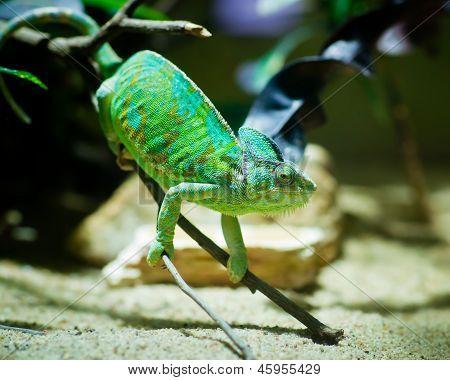Green Chameleon Sitting On A Branch In A Terrarium
