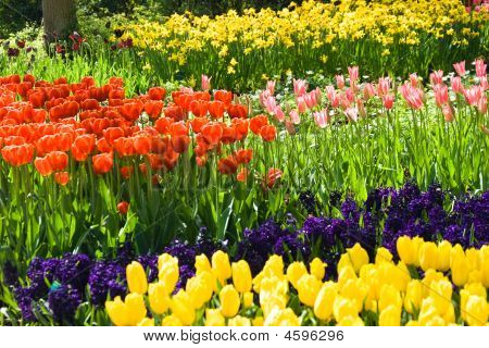 Tulips, Hyacinths And Daffodils