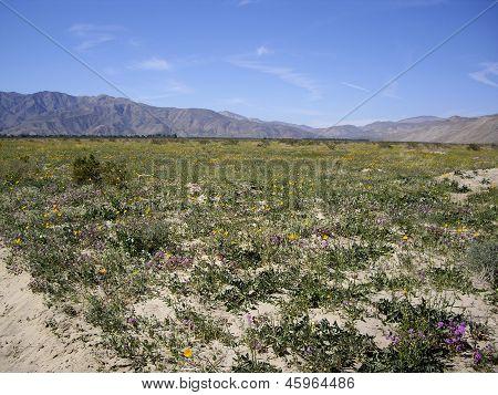 Anza Borrego Desert In Bloom