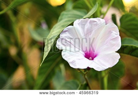 Horizontal White Fluted Hibiscus