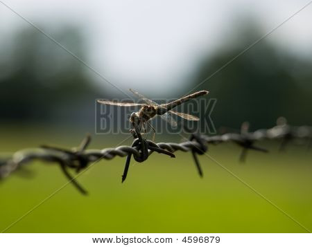 Dragon Fly On Barbed Wire