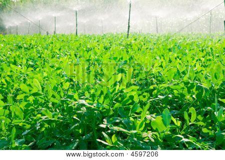 Nut Planting.