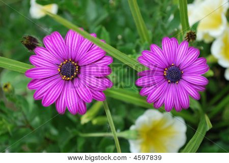 Purple Osteospermum Flowers