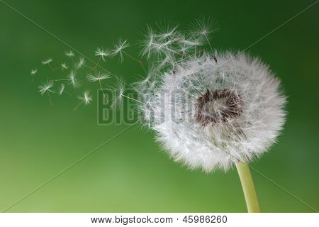 Dandelion seeds in the morning mist blowing away across a fresh green background