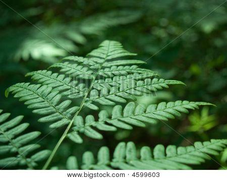 Wood Fern, Dryopteris Sp.