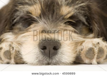 Sleeping Puppy Focus On His Noise, Isolated