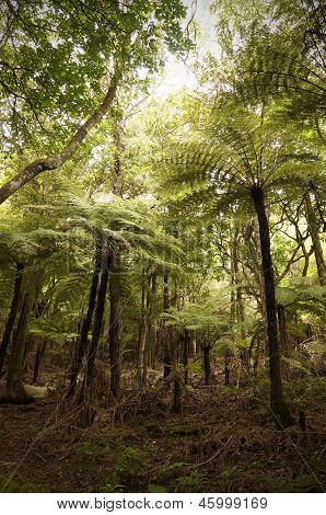 Giant tree ferns, New Zealand.