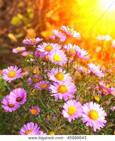 Flowers of chrysanthemum on flowerbed