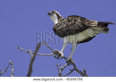Osprey Detail