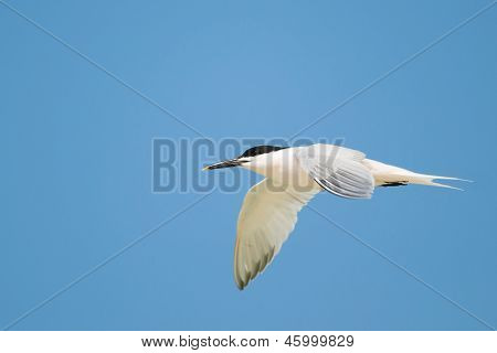 Flying Sandwich Tern (Thalasseus sandvicensis) flying at Fort Myers Beach Florida member of the Laridae family. poster