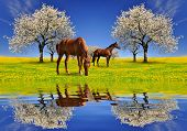 Blooming cherry tree with horses poster