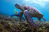 Young lady snorkeling and diving on a breath hold by a big turtle poster